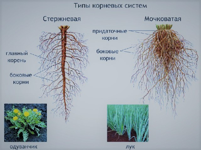 корневые системы