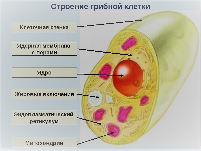 строение грибной клетки