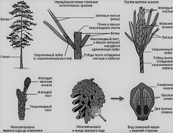 строение семян голосеменных