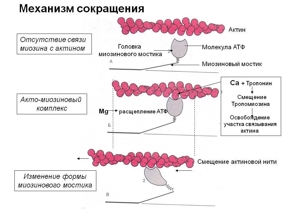 Механизм сокращения мышц