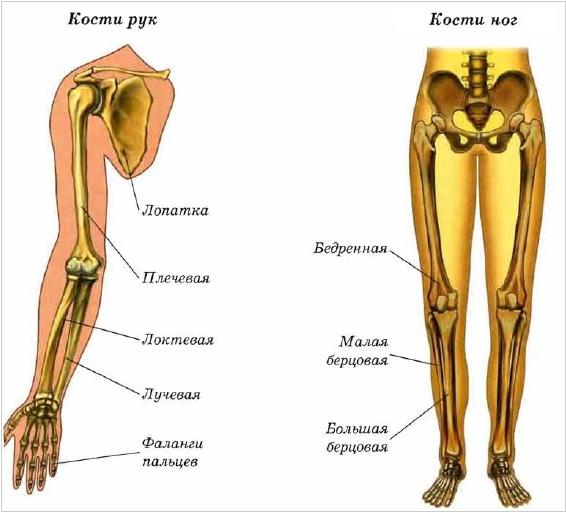 Кости рук и ног