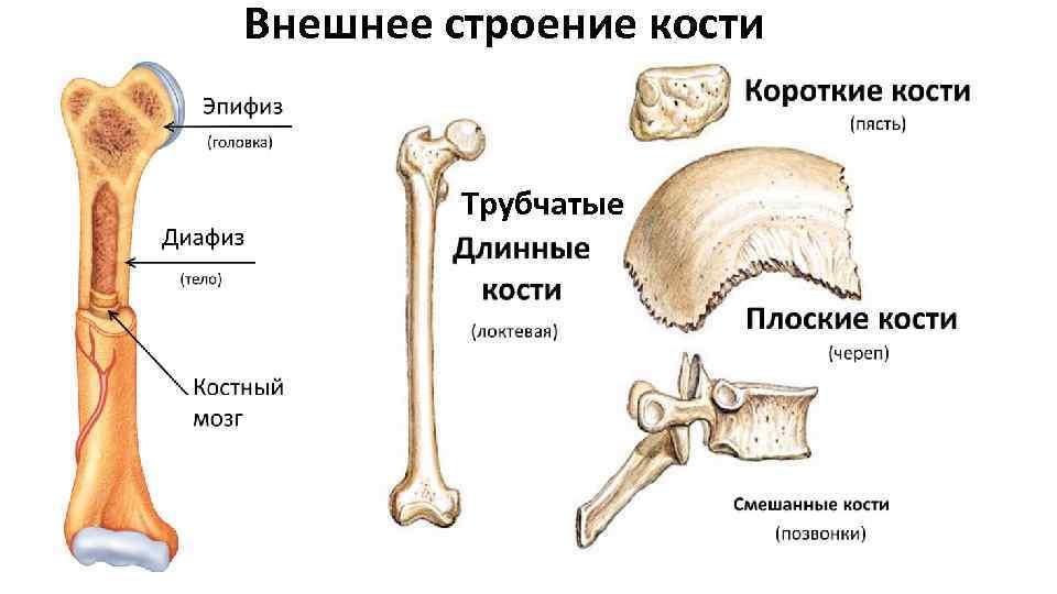 внешнее строение кости