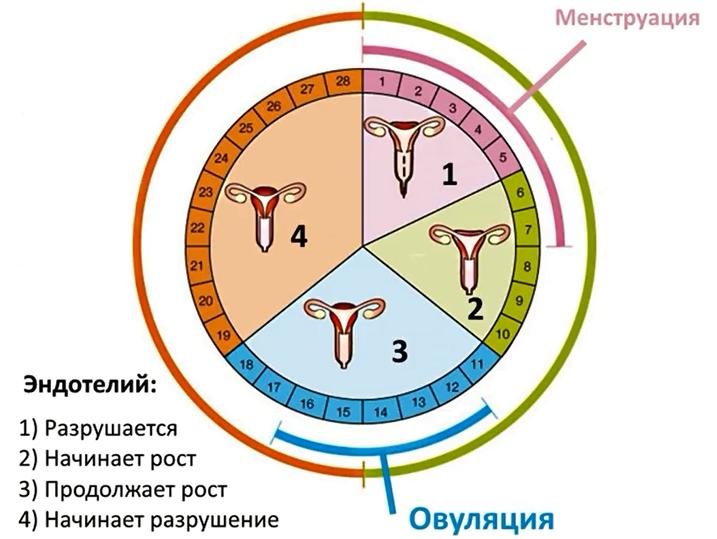 Цикл яичников