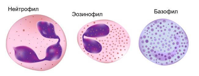 Нейтрофил, эозинофил, базофил