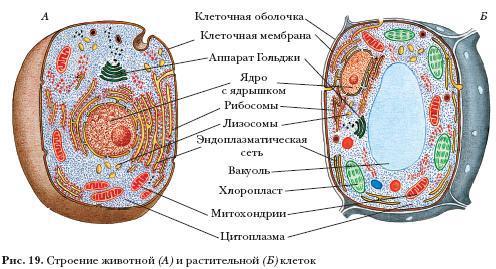 Картинки по запросу растительная и животная клетка