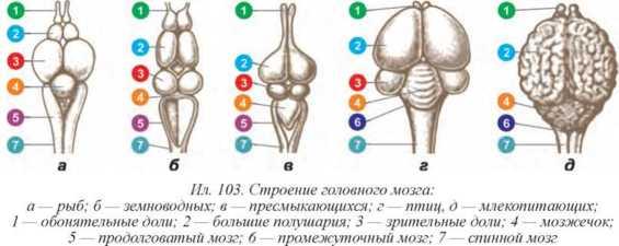 Картинки по запросу мозги животных биология
