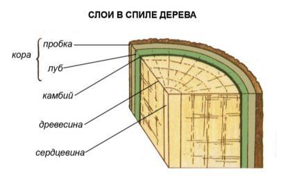 Картинки по запросу слои спиленного дерева