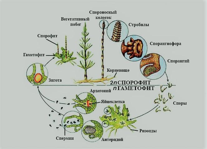 Хвощи однолетние растения