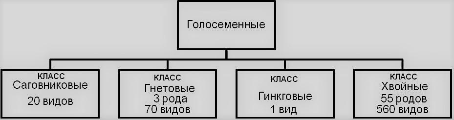 классификация голосеменных