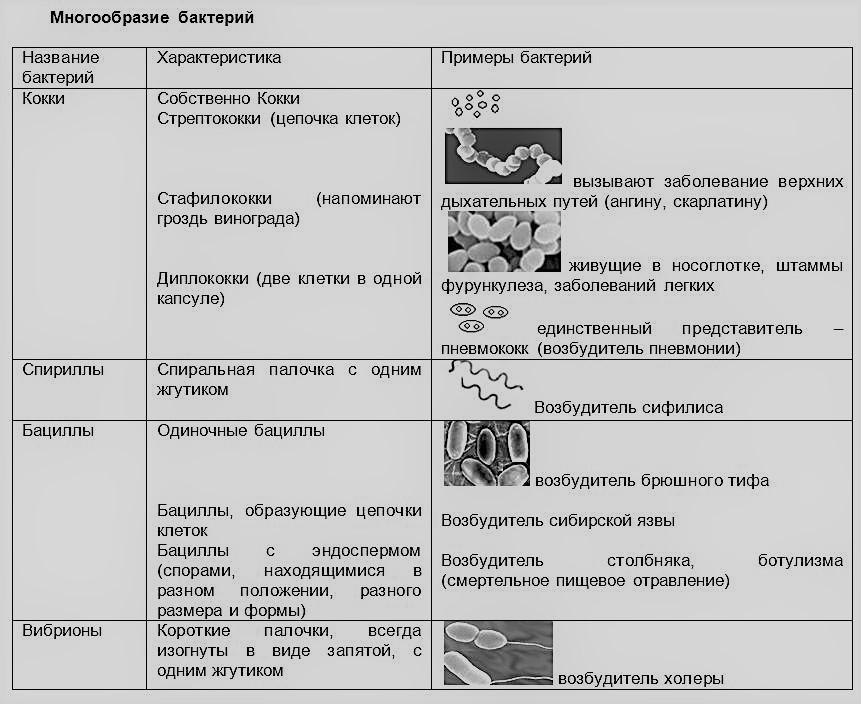 многообразие бактерий