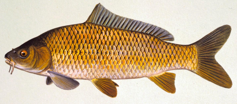 картинки рыбки для карп готовятся несложно, вполне