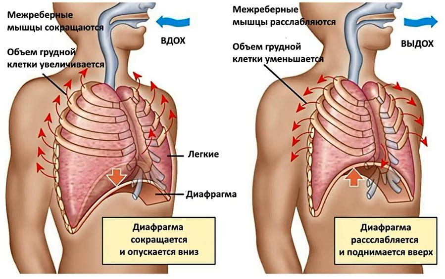 Схема дыхания