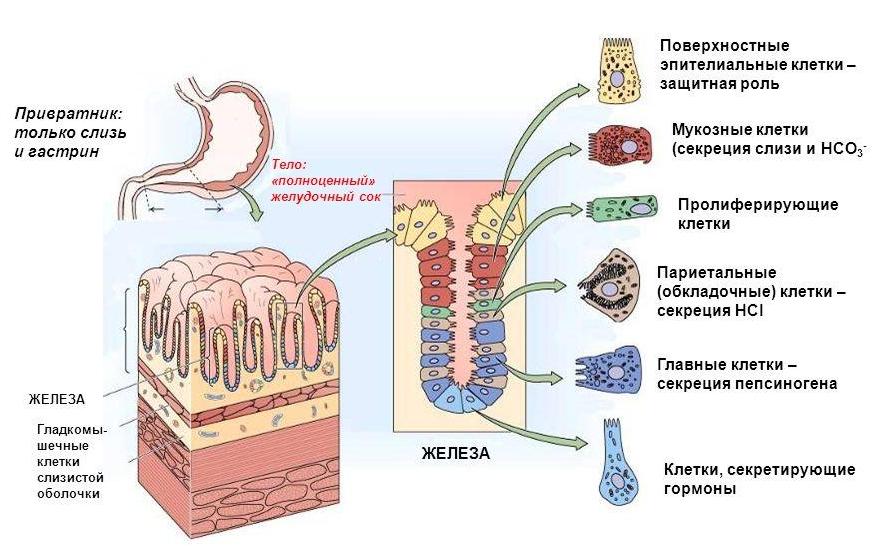 Клетки желудка