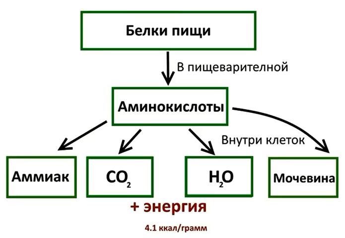 Метаболизм белков