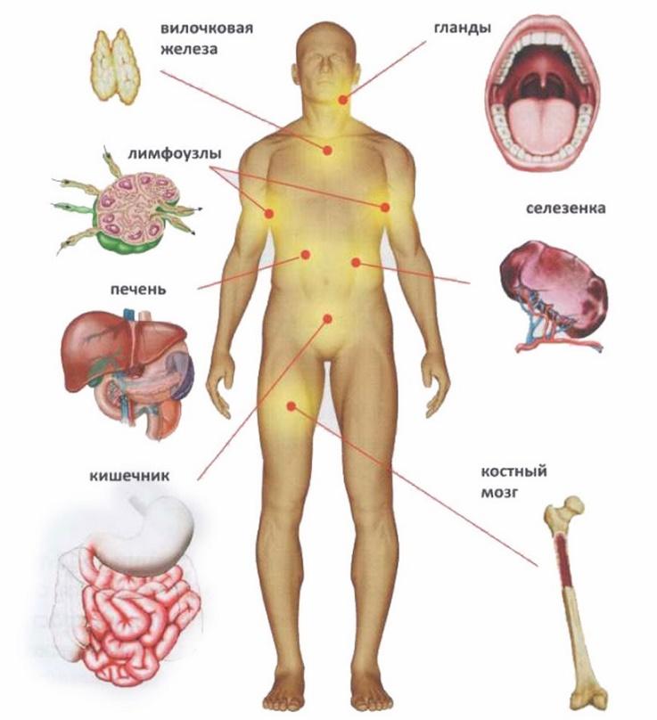 Органы, участвующие в формировании иммунитета