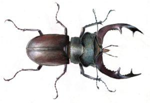Картинки по запросу жук олень