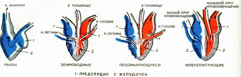 Картинки по запросу сердце рыб