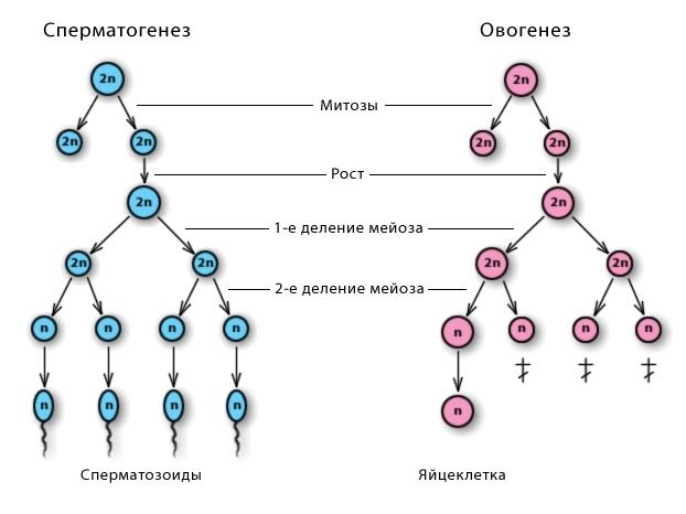 Картинки по запросу овогенез и сперматогенез