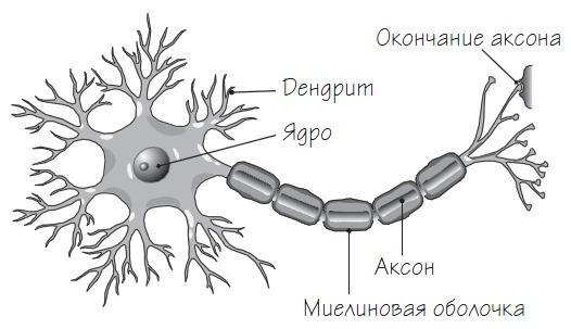 Картинки по запросу нейрон