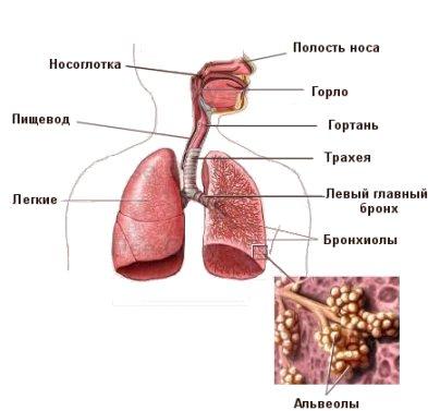 Картинки по запросу дыхательная система