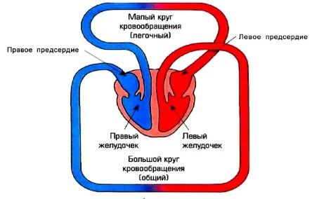 Картинки по запросу круги кровообращения человека