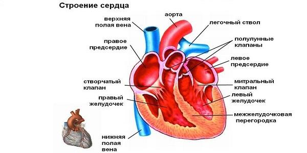 Картинки по запросу сердце строение