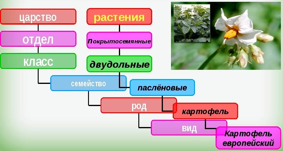 Картинки по запросу систематика растений