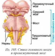 Картинки по запросу ствол головного мозга