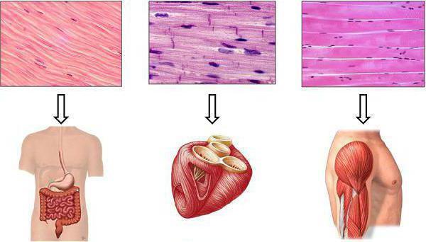 Картинки по запросу сравнение гладкой мышечной ткани и поперечно-полосатой
