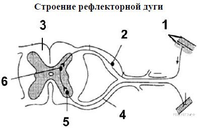 https://bio-ege.sdamgia.ru/get_file?id=34393