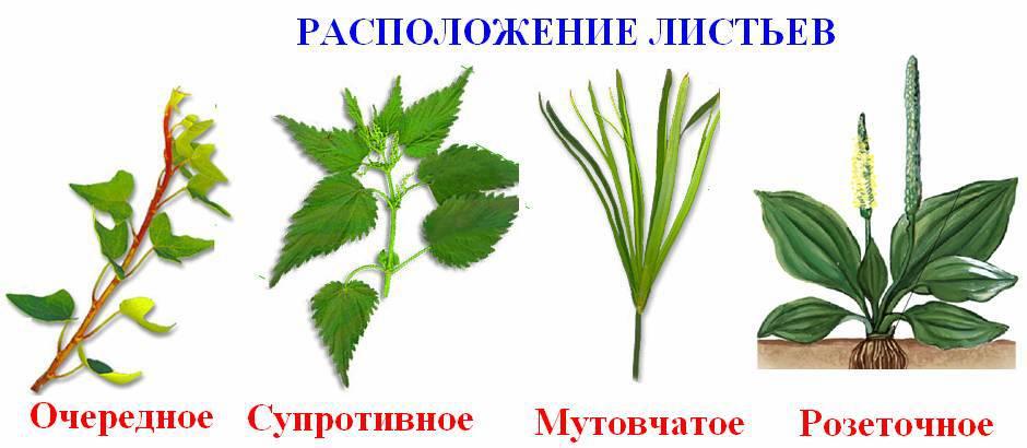 Расположение листьев