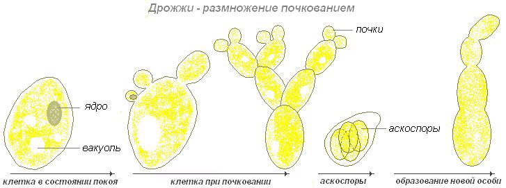 C:\Users\Ксенья\Desktop\sporuljacija-u-gribov_14_1.png