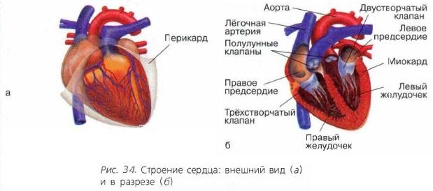 Картинки по запросу сердце млекопитающих