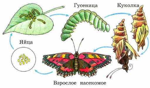 Нарисуй все стадии развития бабочки-крапивницы. - Универ soloBY