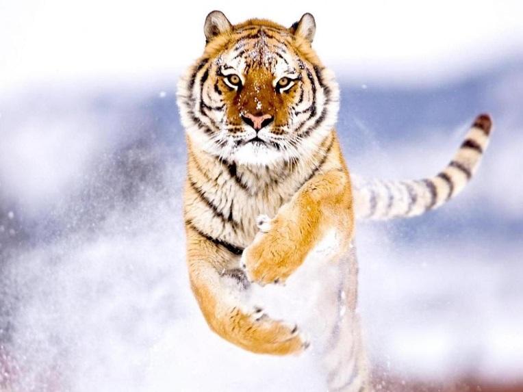 Амурский тигр - дополнительная информация.