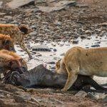 Львы и гиены-вечные враги | Охота и дикий мир | Яндекс Дзен