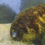 Рыба – жемчужница